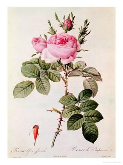 pierre-joseph-redoute-rosa-bifera-officinalis-from-les-roses-by-claude-antoine-thory_a-l-1736913-8880731